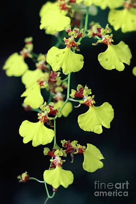 Photograph - Orchid Oncidium Flexuosum by Elizabeth Dow