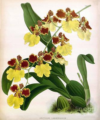 Orchid, Oncidium Larkinianum, 1891 Print by Biodiversity Heritage Library