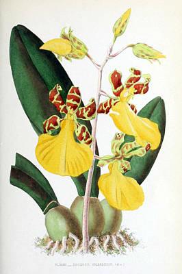 Orchid, Oncidium Splendidum, 1880 Print by Biodiversity Heritage Library