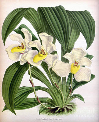 Orchid, Pescatorea Cerina, 1891 Print by Biodiversity Heritage Library