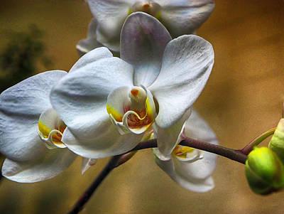 Photograph - Orchid Phalaenopsis Mattie's Prairie by C H Apperson