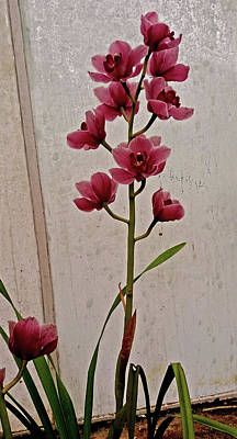 Photograph - Orchid Pink In Glasshouse by Nareeta Martin