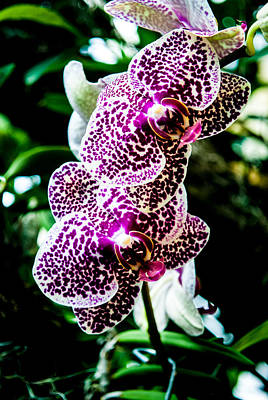 Photograph - Orchid - Pla236 by G L Sarti