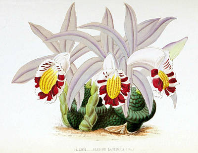 Orchid, Pleione Lagenaria, 1880 Print by Biodiversity Heritage Library
