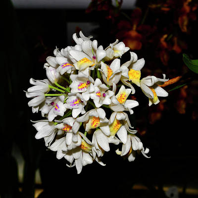 Photograph - Orchid Polystachya Neobenthamia 001 by George Bostian