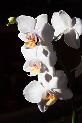 Photograph - Orchid Quartet by Natalie Rotman Cote