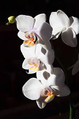 Photograph - Orchid Quartet by Natalie Rotman Cote
