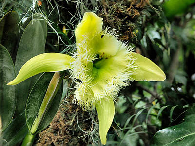 Photograph - Orchid Rhyncholaelia Digbyana by C H Apperson