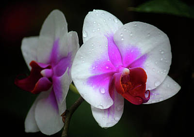 Photograph - Orchid by Rowana Ray