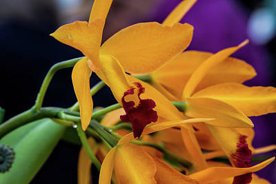 Photograph - Orchid Show 2 by Alana Thrower