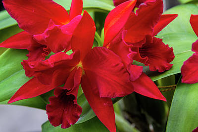 Photograph - Orchid Show 3 by Alana Thrower