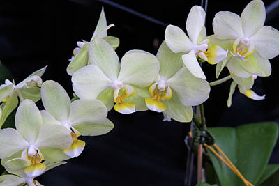 Photograph - Orchid Show 4 by Alana Thrower