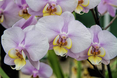 Photograph - Orchid Show 5 by Alana Thrower
