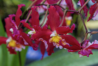 Photograph - Orchid Show 6 by Alana Thrower