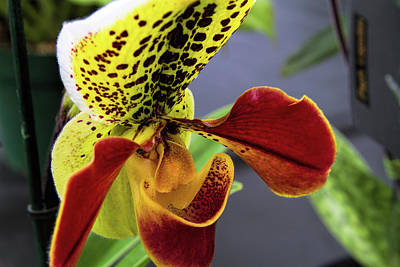 Photograph - Orchid Show 8 by Alana Thrower