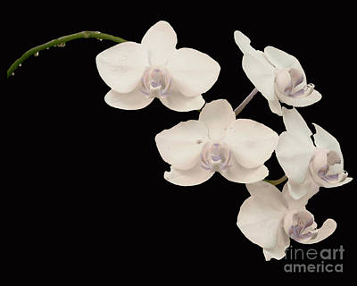 Isolated On Black Background Digital Art - Orchid by Sonya Staneva