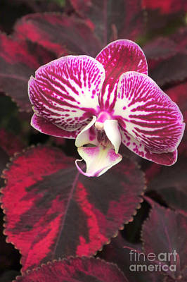 Photograph - Orchid Standout by Frank Townsley