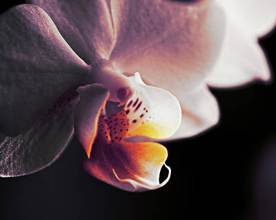 Photograph - Orchid Sunset by Susan Capuano