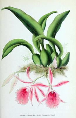 Orchid, T. Crispa Marginata, 1880 Print by Biodiversity Heritage Library