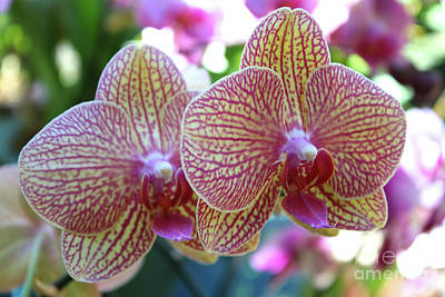 Photograph - Orchid Twins by Carol Groenen
