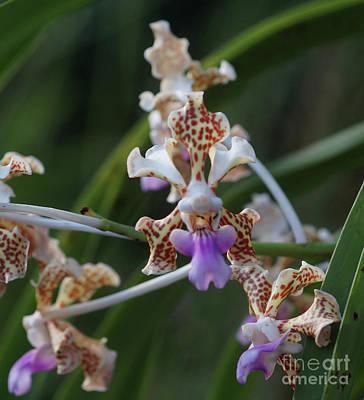 Photograph - Orchid Vanda Tricolor by Rudi Prott