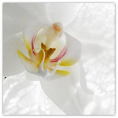 Photograph - Orchid White by Halina Nechyporuk