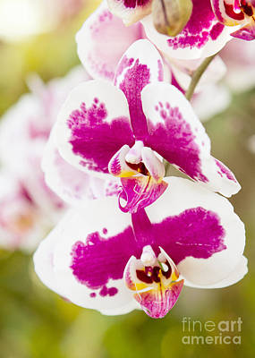 Orchid Wings Art Print