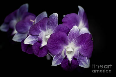 Photograph - Orchids by Bianca Nadeau