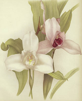 Orchids Drawing - Orchids by English School