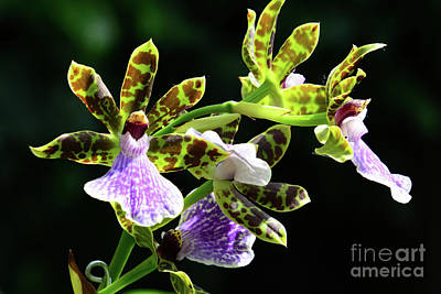Photograph - Orchids For You by Cindy Manero