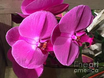 Photograph - Orchids In Exotic Pink by Jeannie Rhode