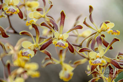 Photograph - Orchids In Mexico by Cheryl Baxter