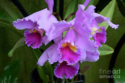 Photograph - Orchids In Purple by Jeannie Rhode