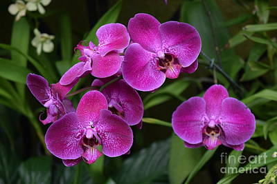 Photograph - Orchids In Vivid Pink  by Jeannie Rhode