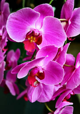 Photograph - Orchids by Kristin Elmquist