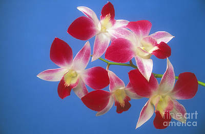 Kyle Rothenborg Photograph - Orchids by Kyle Rothenborg - Printscapes