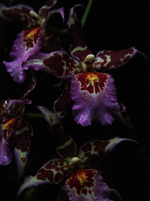 Photograph - Orchids Maroon Plum by Toni Hopper