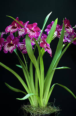 Photograph - Orchids Miltonia by Lana Enderle