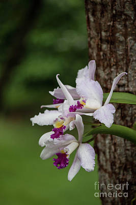 Photograph - Orchids On A Tree by Teresa Wilson