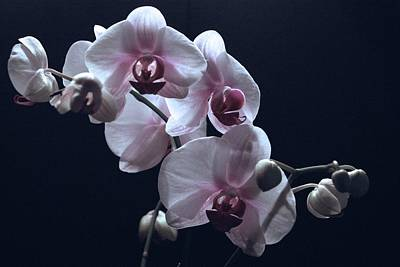 Photograph - Orchids On Black by Margie Avellino