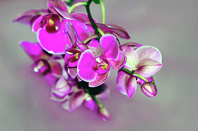 Photograph - Orchids On Gray by Ann Bridges