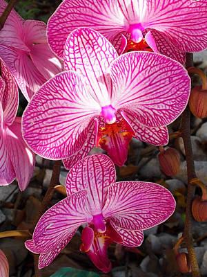 Photograph - Orchids-phalaenopsis by Karen Zuk Rosenblatt