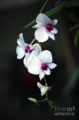 Photograph - Orchids by Robert Meanor