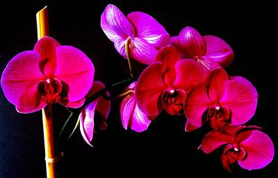 Photograph - Orchids by Ron Davidson