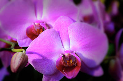 Photograph - Orchids by Stewart Helberg