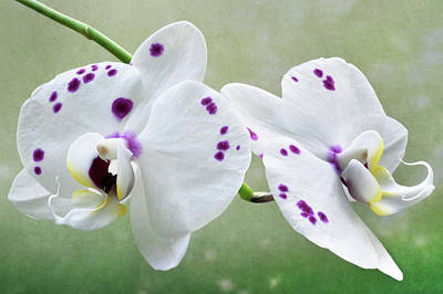 Photograph - Orchids With Purple Specks by Terence Davis