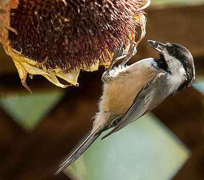 Photograph - Oregon Black Capped Chickadee by Lara Ellis