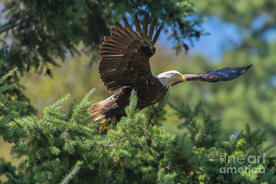 Photograph - Oregon Coast Range Bald Eagle by Tim Moore