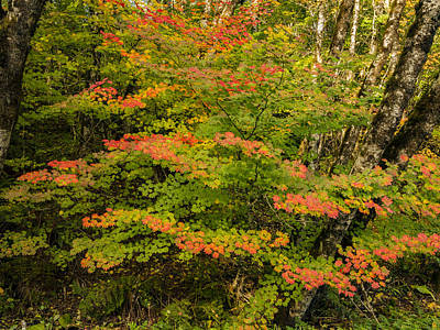 Photograph - Oregon Coastal Vinemaple by Jean Noren