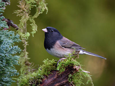Photograph - Oregon Dark-eyed Junco by Keith Boone